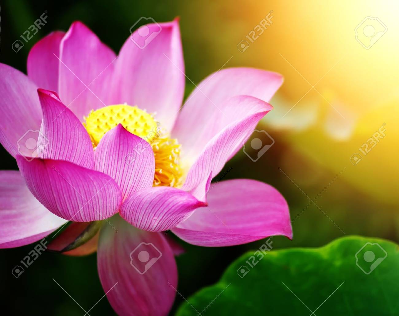 lotus flower blossom in the sunrise Stock Photo - 16025659