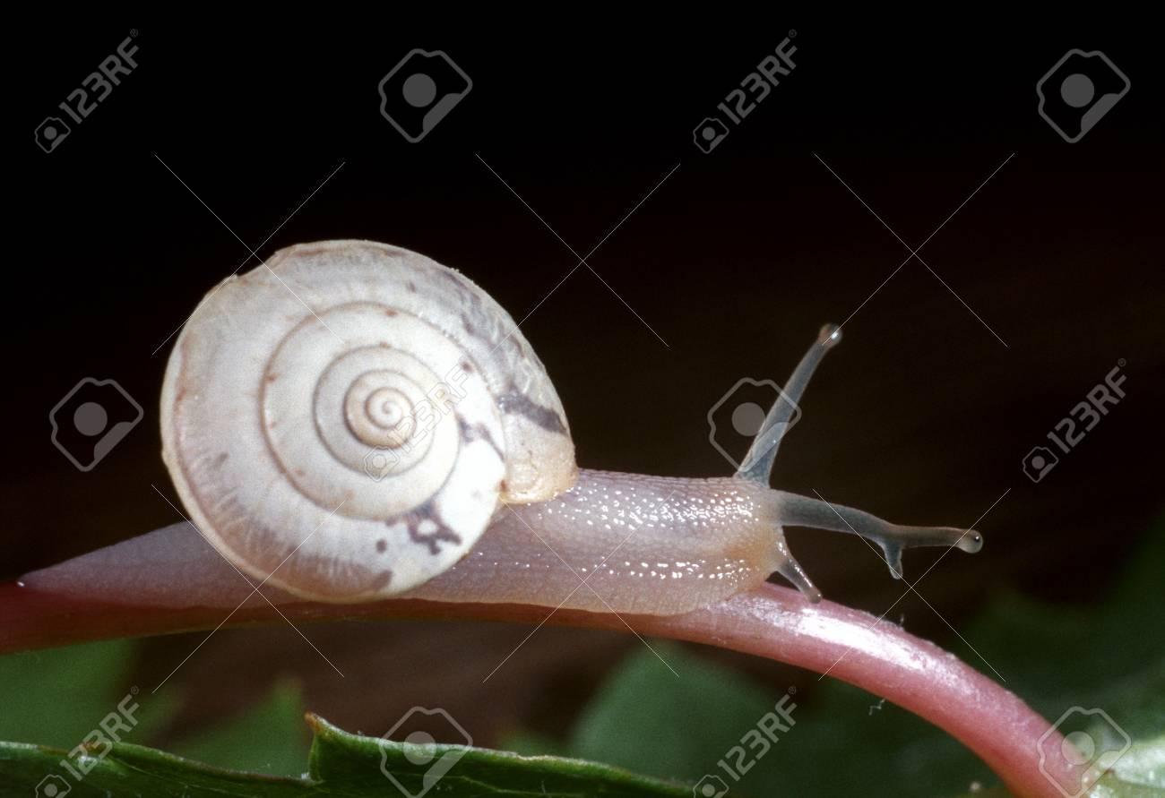 parásito ojo de caracol