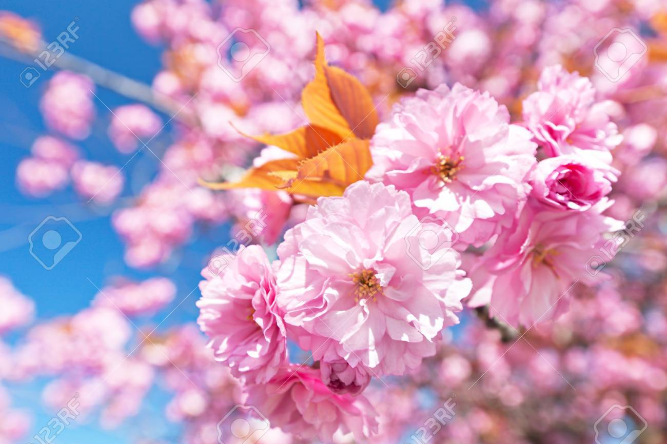 Japanese cherry with blossom - 13787265