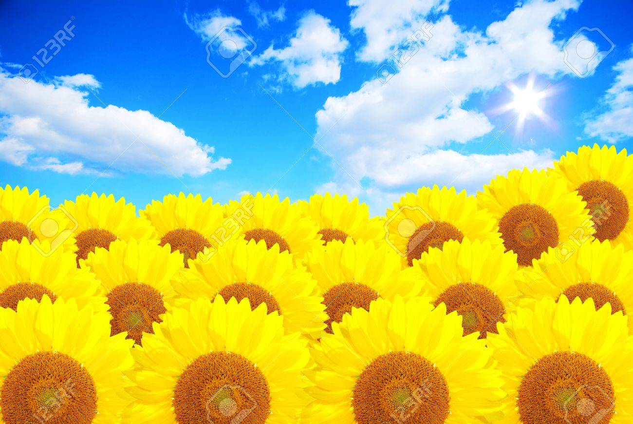 The summer sun over the sunflower field Stock Photo - 14448970