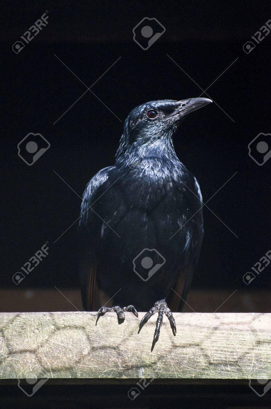 Raven Stock Photo - 4717212