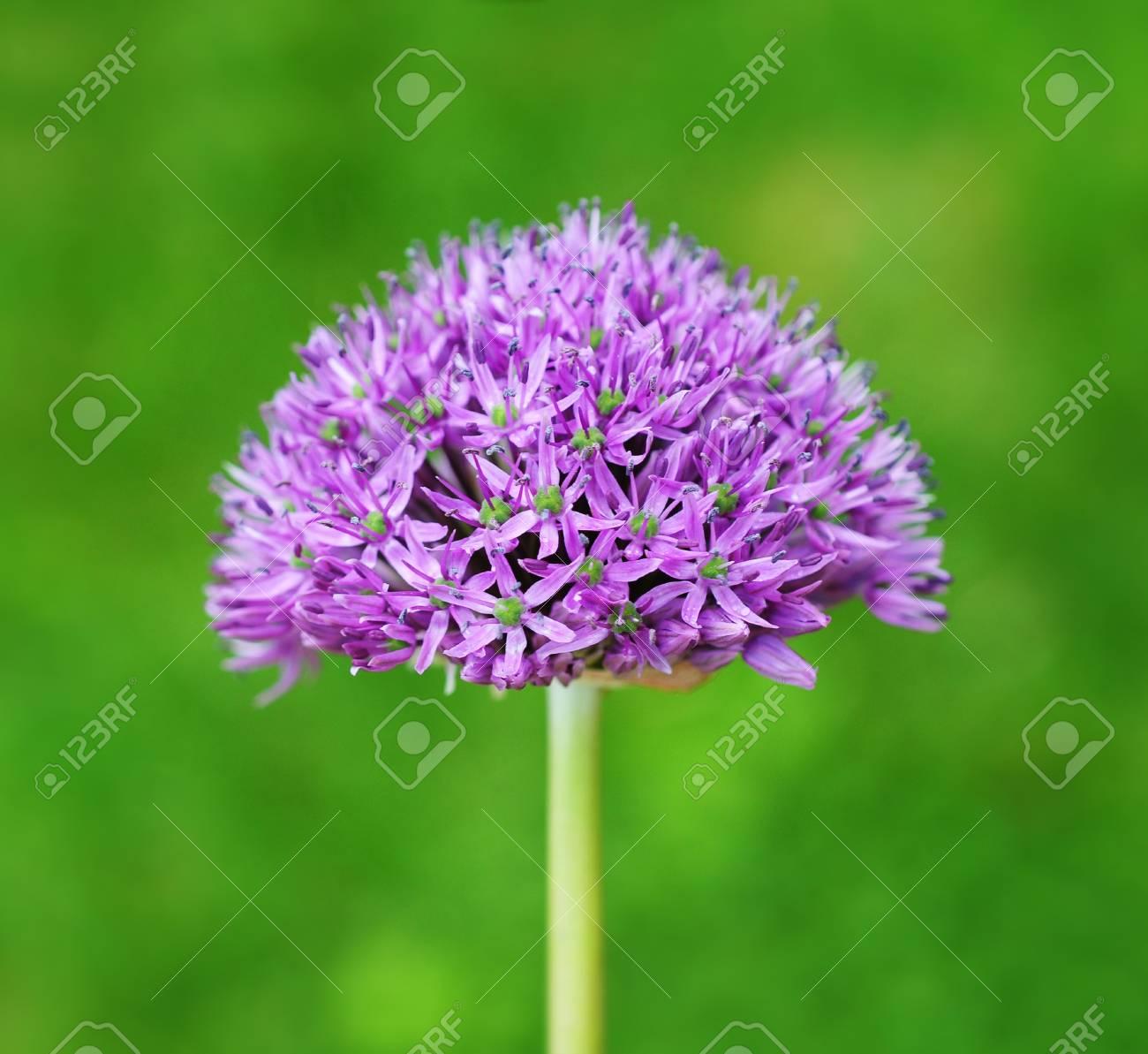 Purple Allium Stock Photo - 9484636
