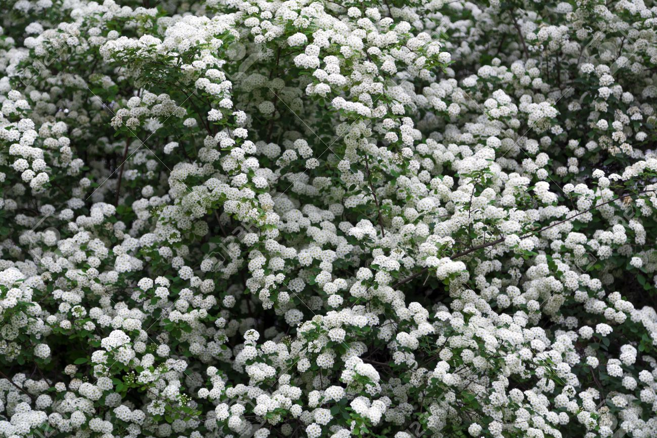 White Flowered Bush Texture Background Royalty Free Stok Fotoraf