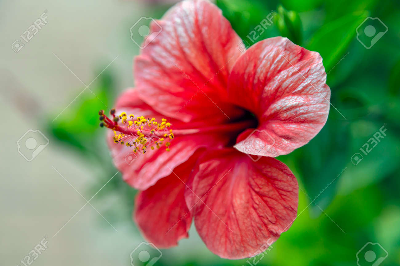 Beautiful Coral Red Colored Hibiscus Blossom Close Up Stock Photo ...