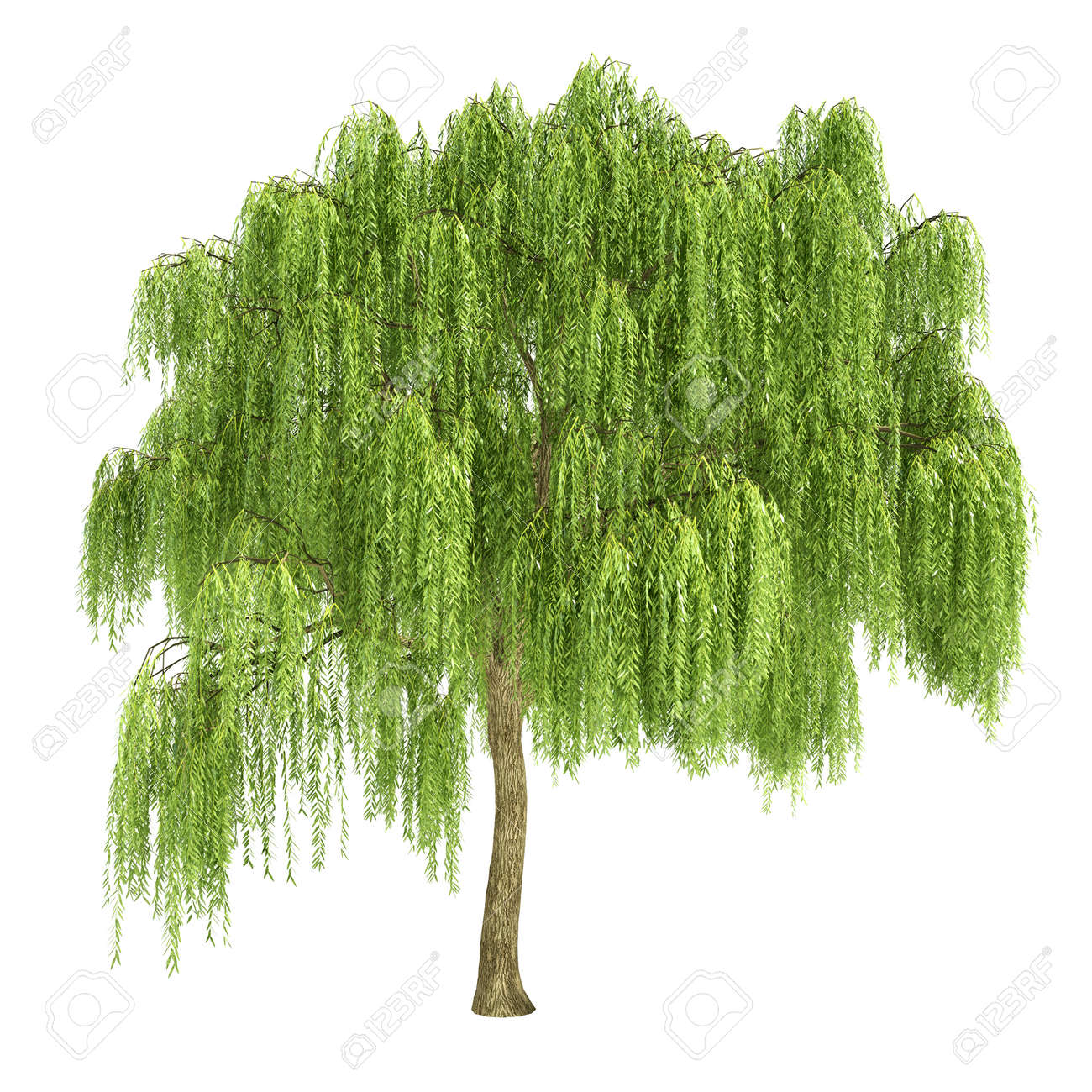 Willow Tree Stock Photos. Royalty Free Willow Tree Images