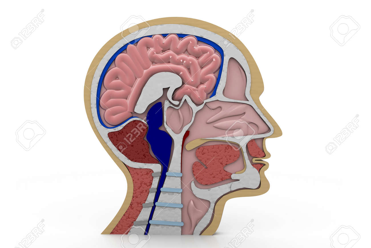 Human Head Cross Section Stock Photo Picture And Royalty Free Image
