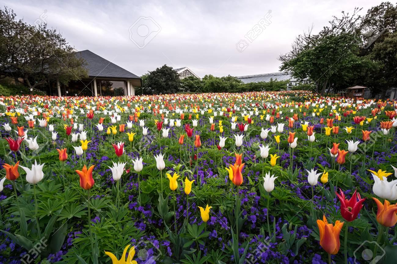 Tulip Field In Nabana No Sato A Famous Flower Garden In Japan
