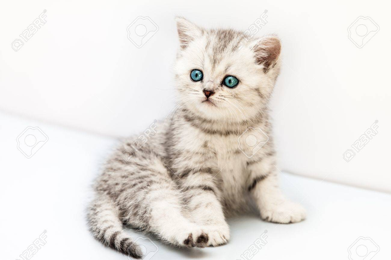 Feline Animal Pet Little British Domestic Silver Tabby Cat With