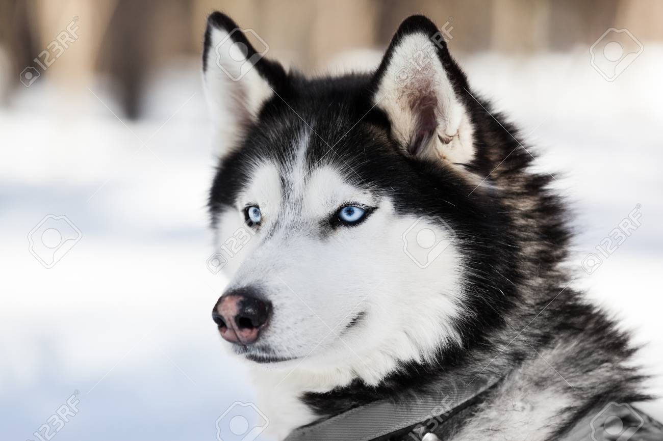 Cute Breed Siberian Husky Dog Animal Walking Winter Snow Outdoor