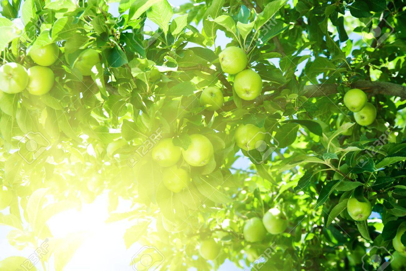 green apple fruit tree. apple tree and green stock photo - 3801764 fruit t
