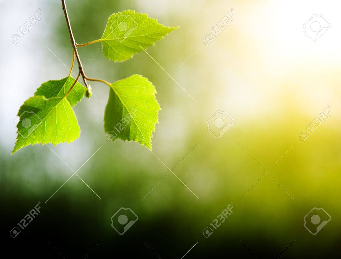 leaves of birch in deep forest Stock Photo - 5474786