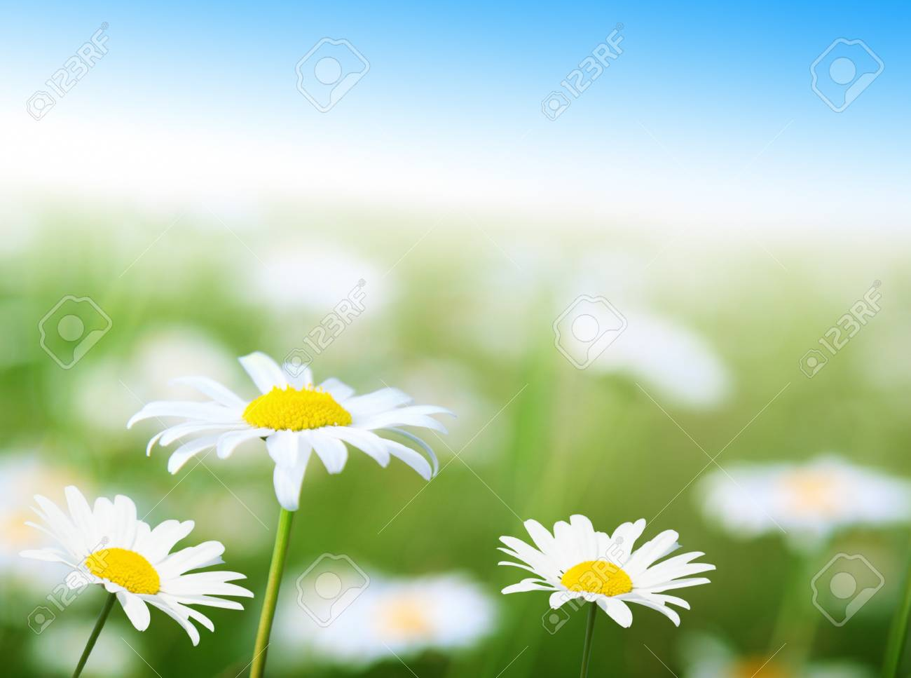 field of daisy flowers Stock Photo - 7885224