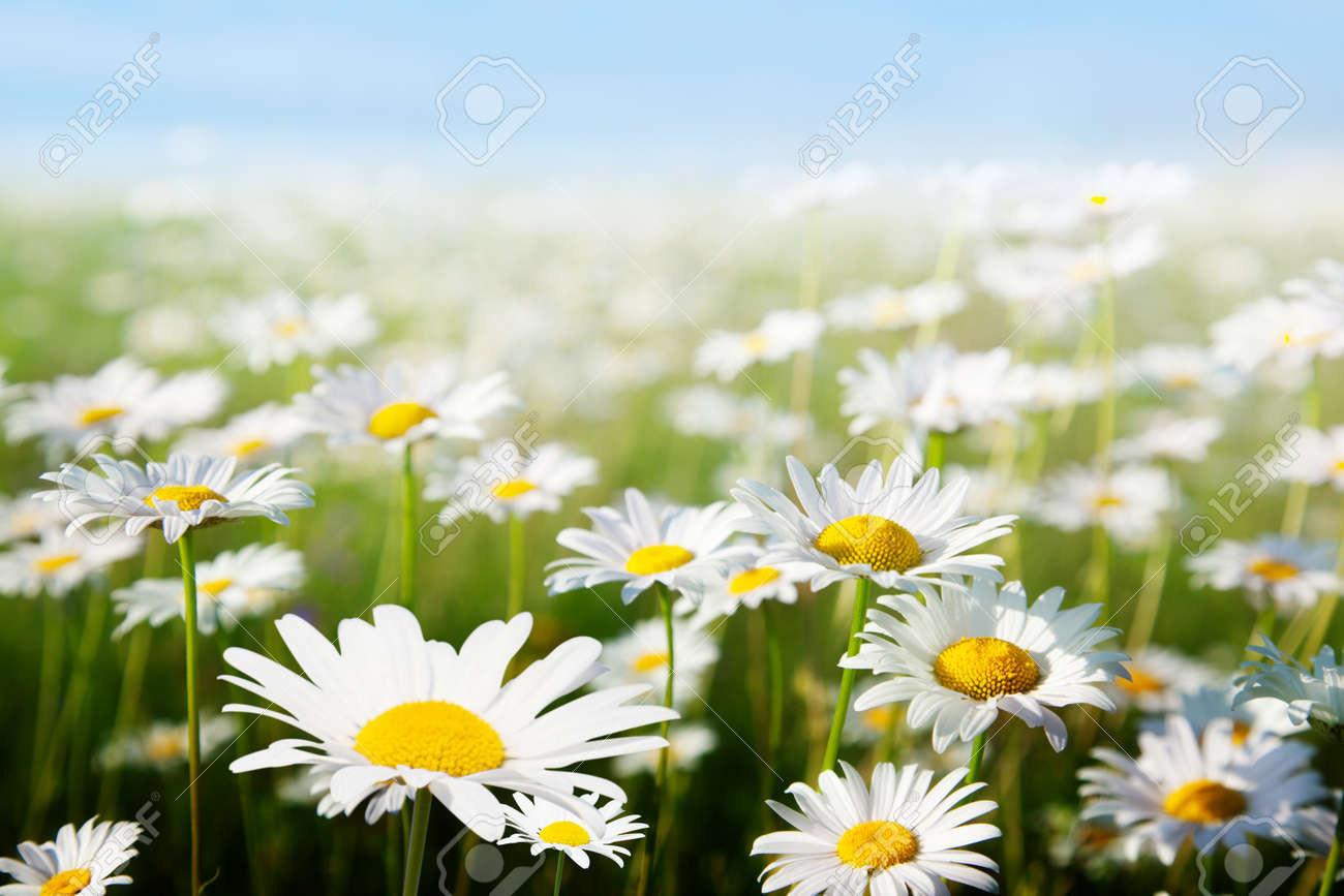field of daisy flowers stock photo, picture and royalty free image, Beautiful flower