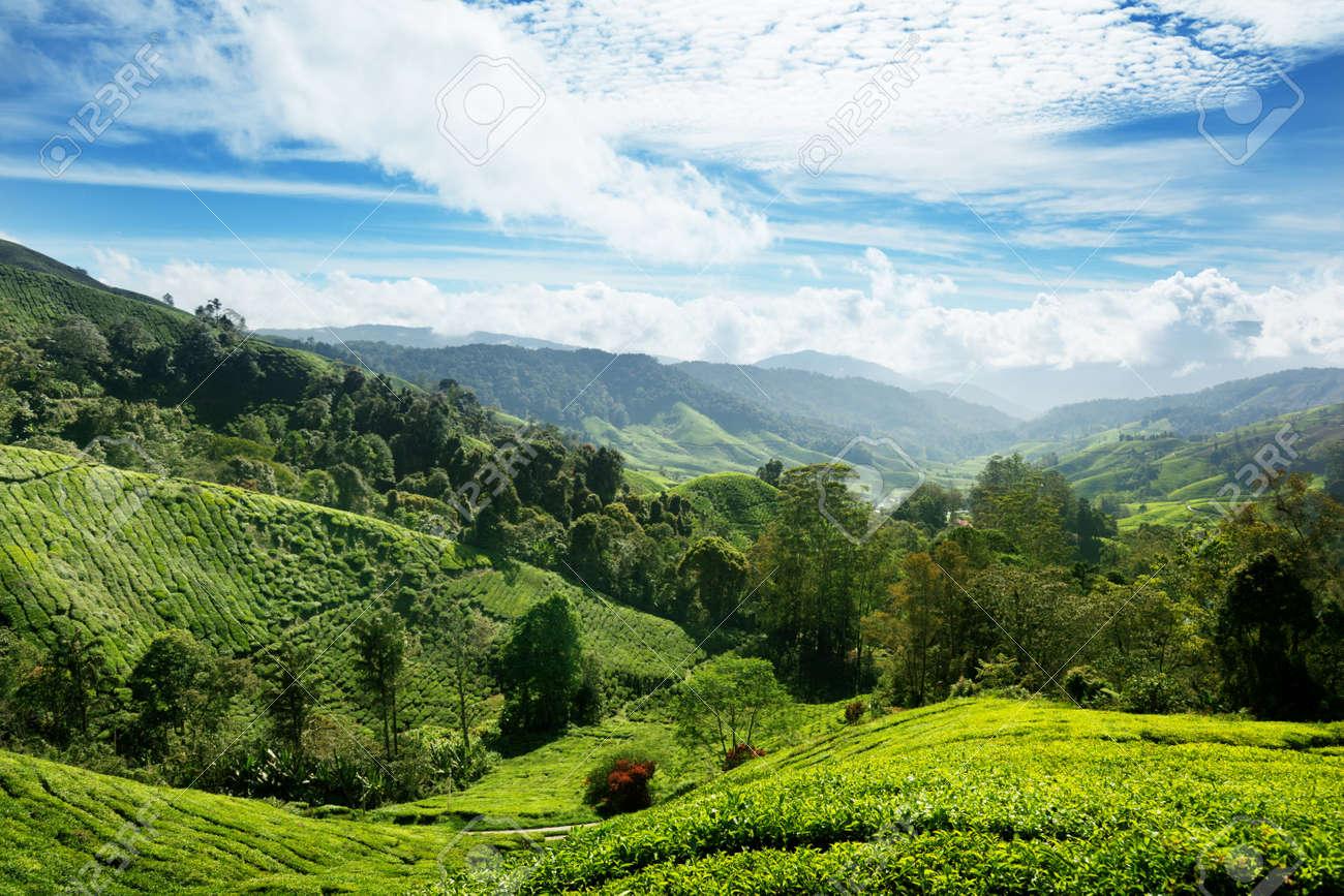 Tea plantation Cameron highlands, Malaysia Stock Photo - 9406439