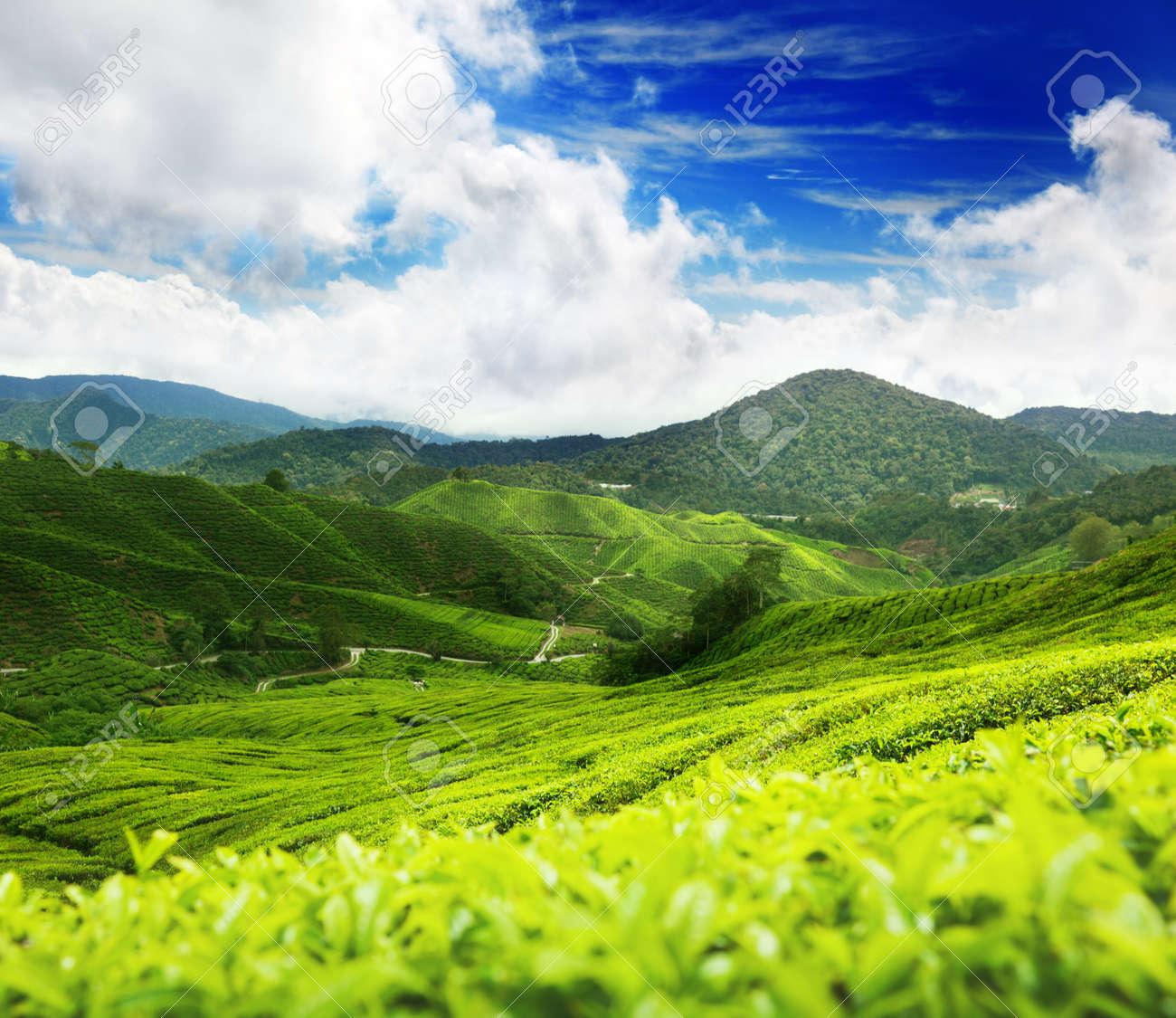 Tea plantation Cameron highlands, Malaysia Stock Photo - 9595391