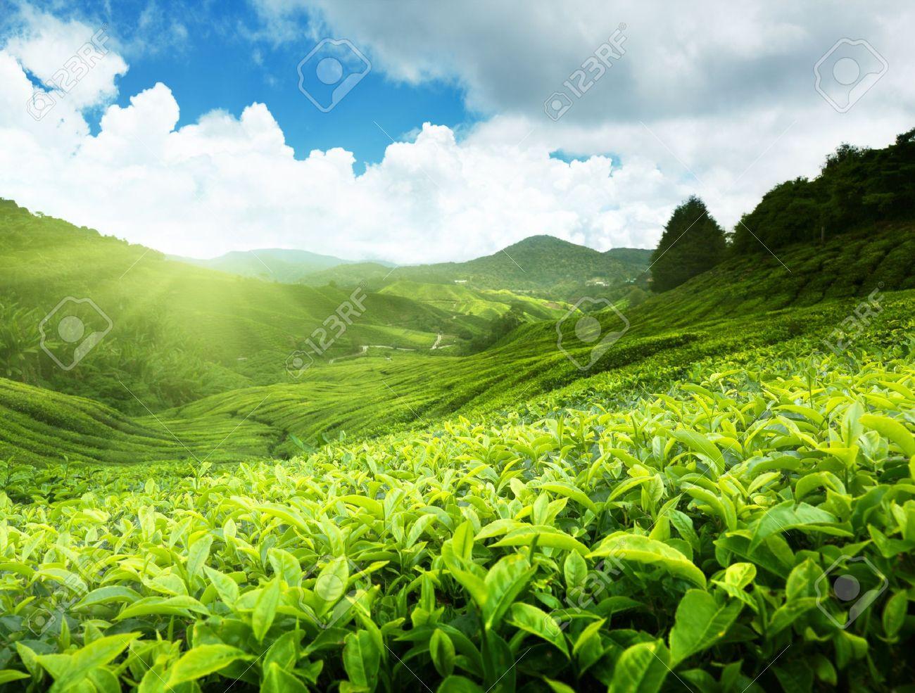 Tea plantation Cameron highlands, Malaysia Stock Photo - 9912015