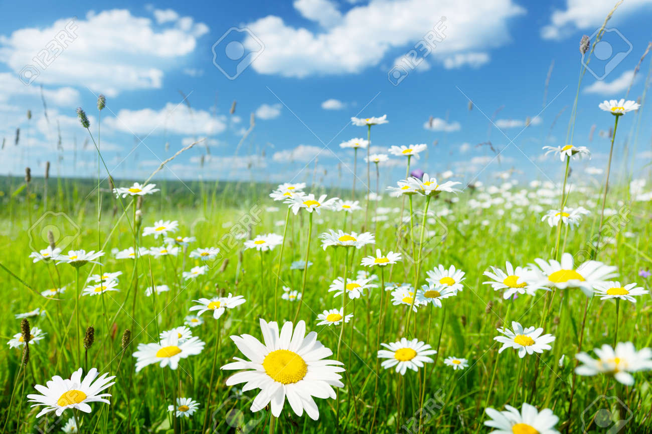 field of summer flowers Stock Photo - 10120687