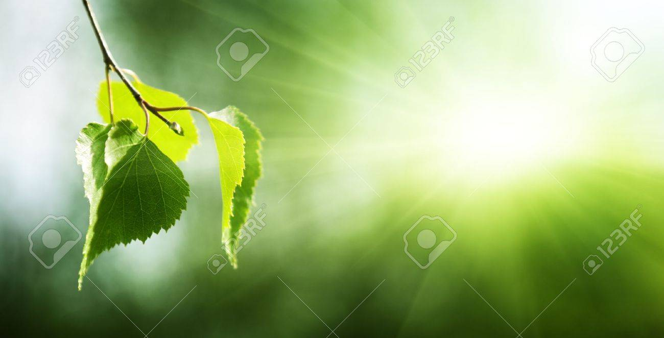 leaves of birch in forest Stock Photo - 10766032