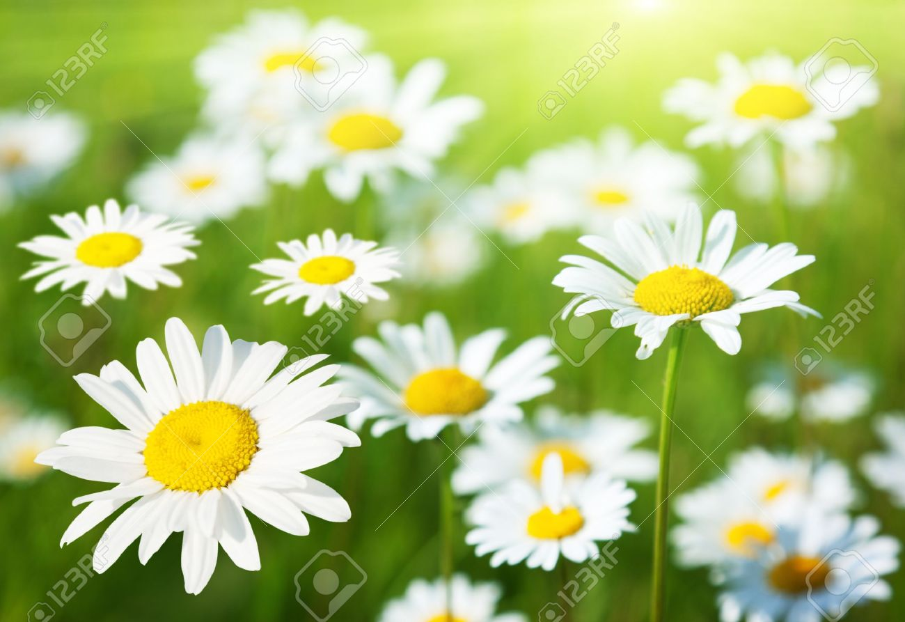 Beautiful Flowers 2019 Picture Of Daisy Flower Beautiful Flowers