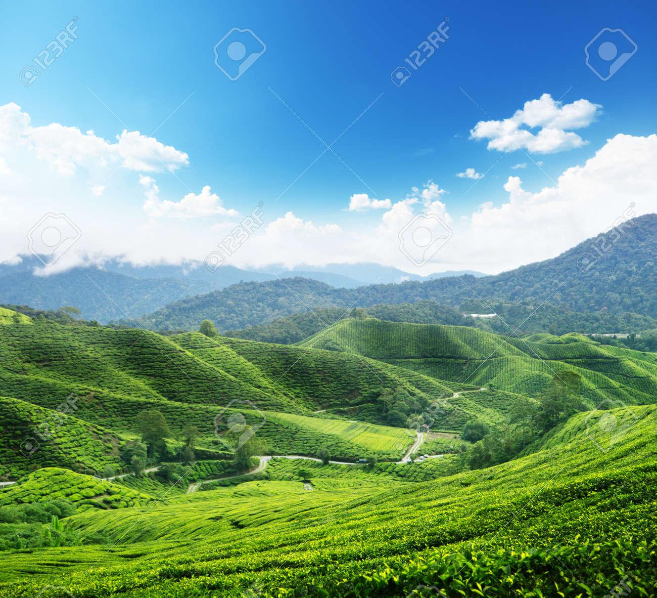 Tea plantation Cameron highlands, Malaysia Stock Photo - 10835822