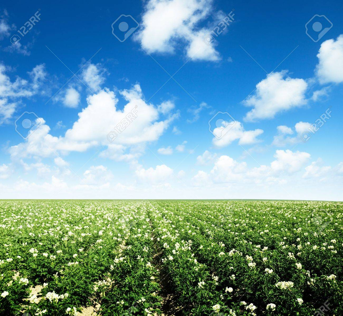 potatos field and sunny summer day Stock Photo - 12511425