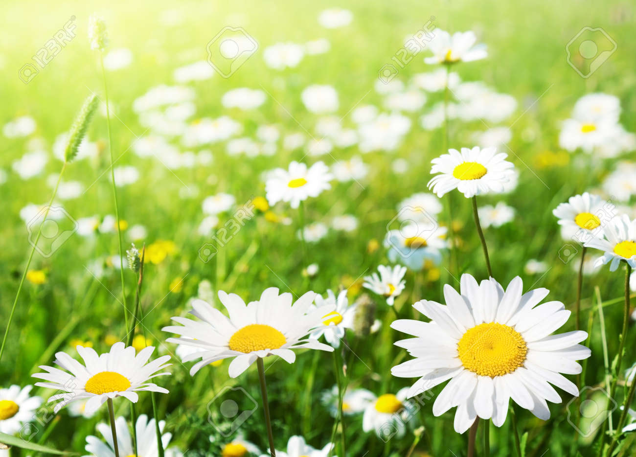 Field Of Daisy Flowers Stock Photo Picture And Royalty Free Image