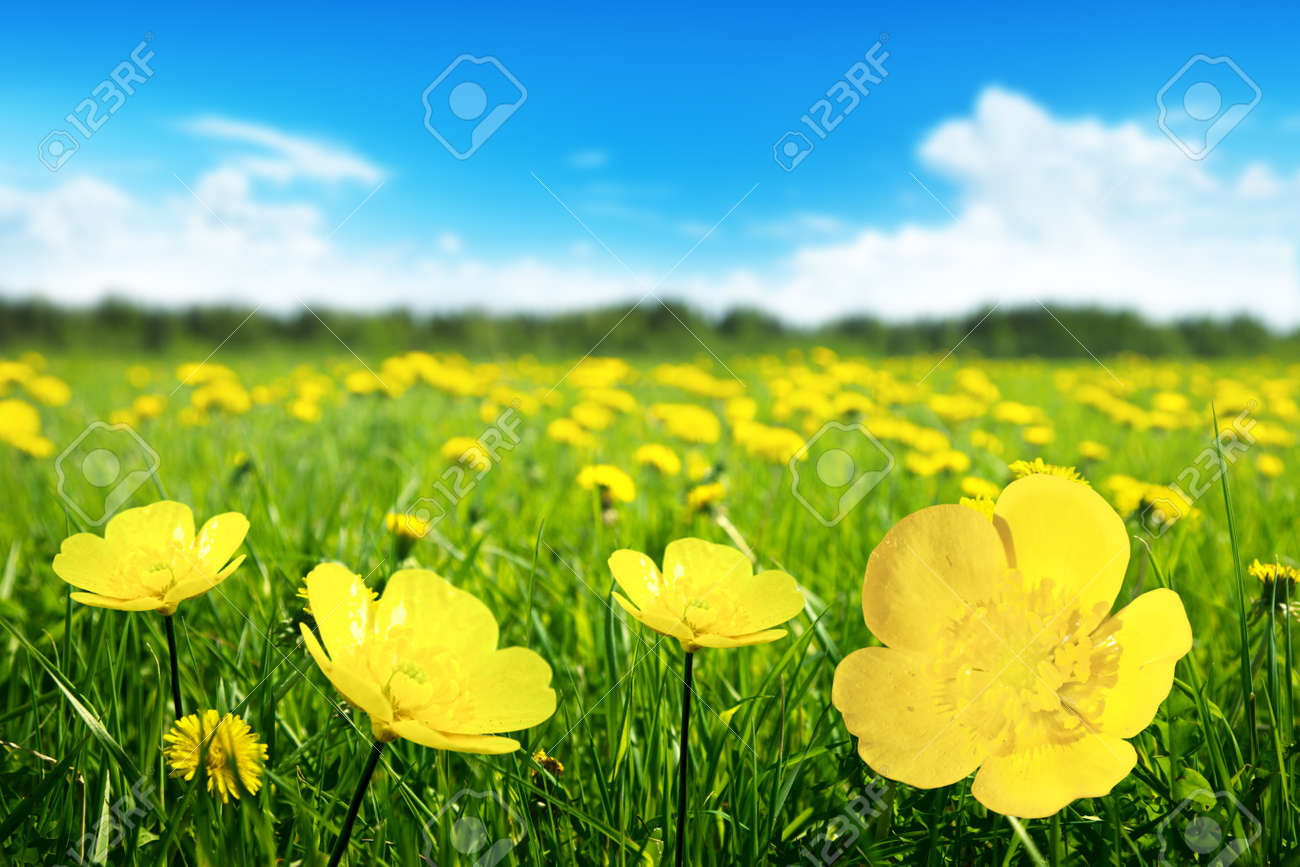 Field Of Spring Flowers And Perfect Sunny Day Stock Photo Picture