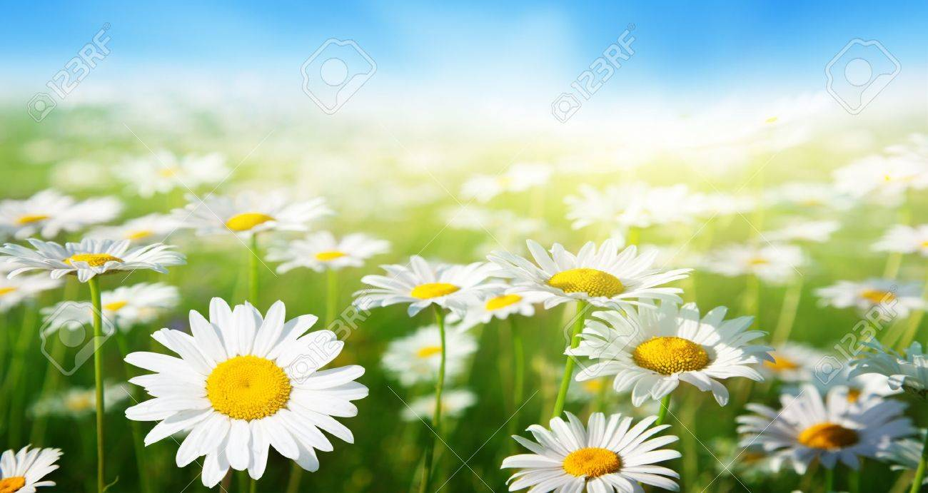 field of daisy flowers Stock Photo - 17477331