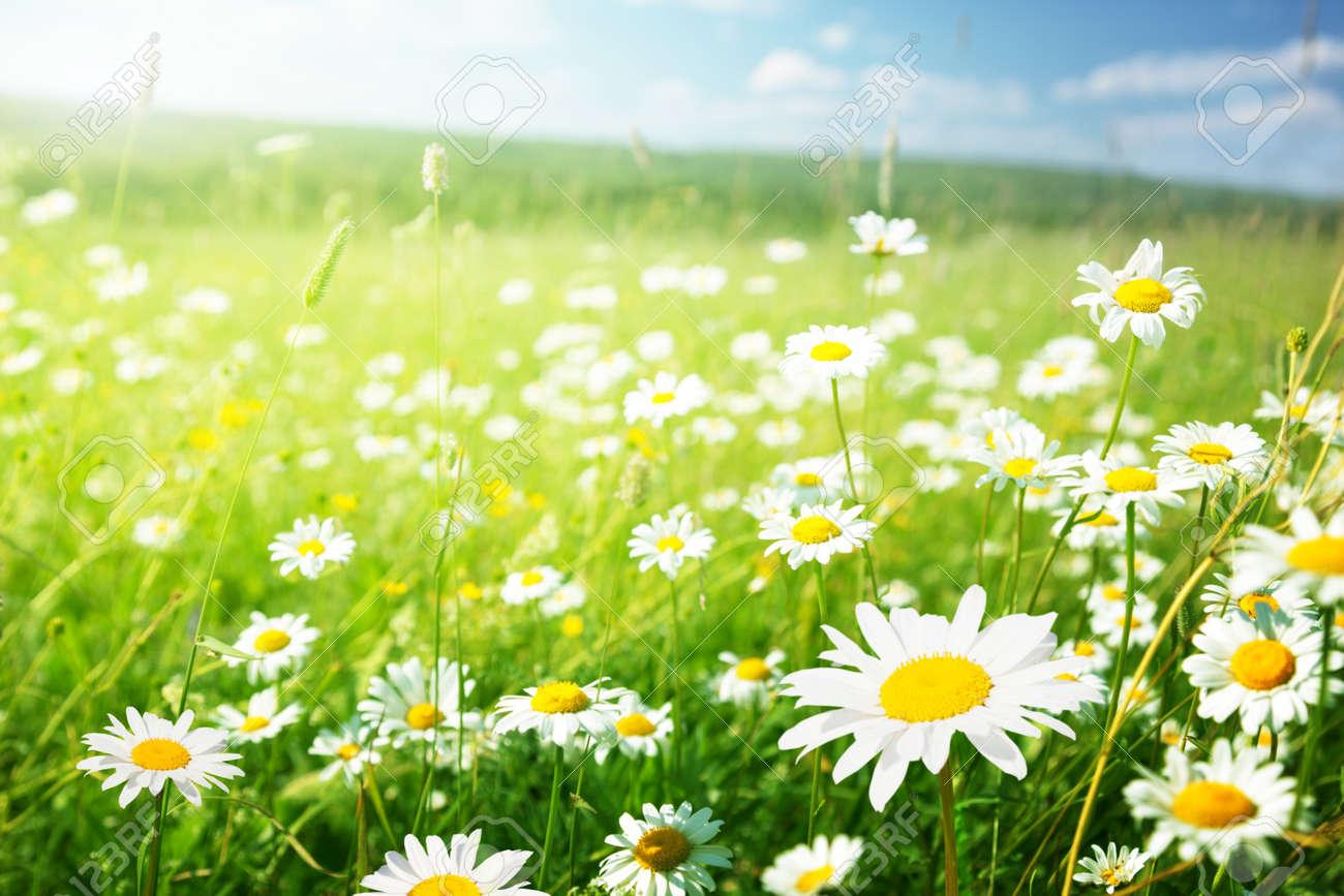 field of daisy flowers - 84270426