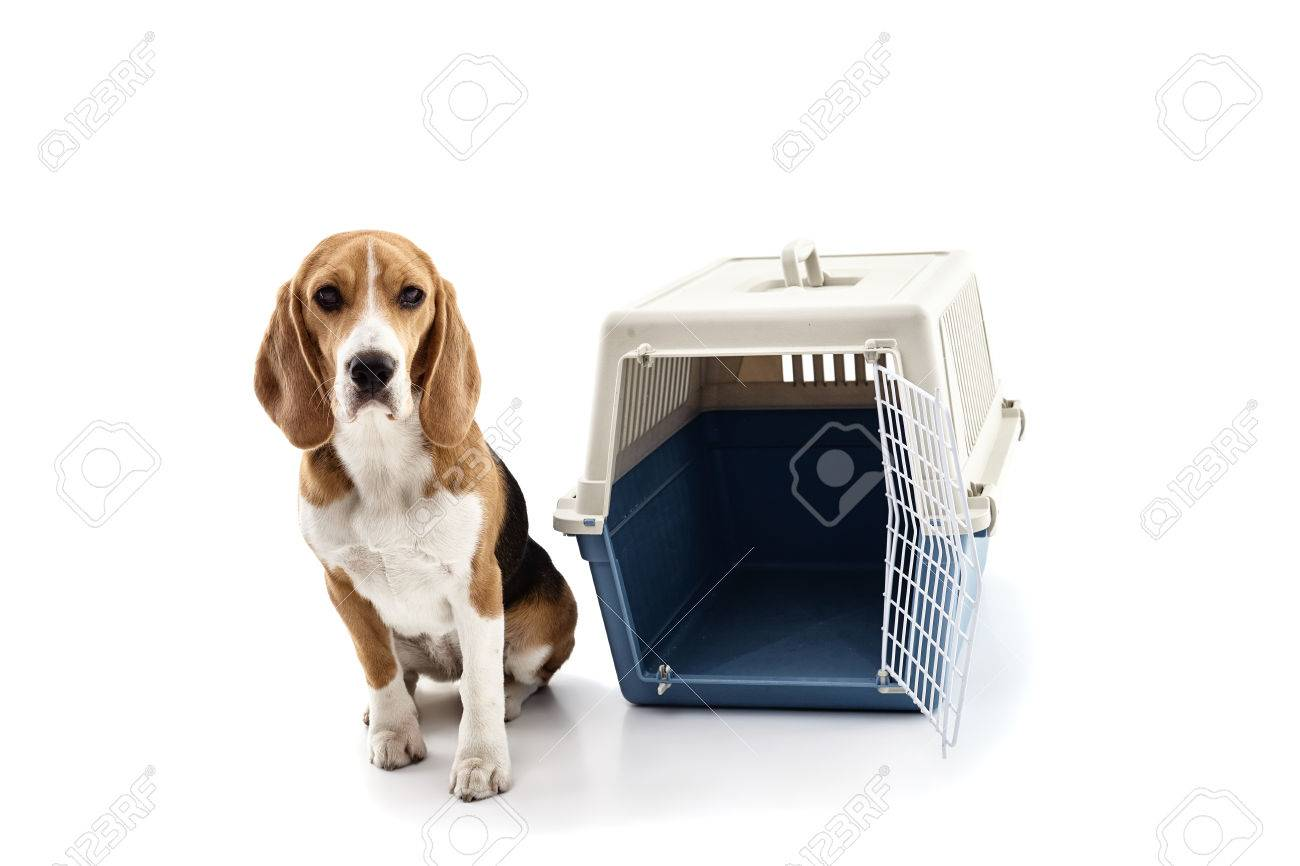 pretty beagle dog is sitting near a carrier box isolated on stock
