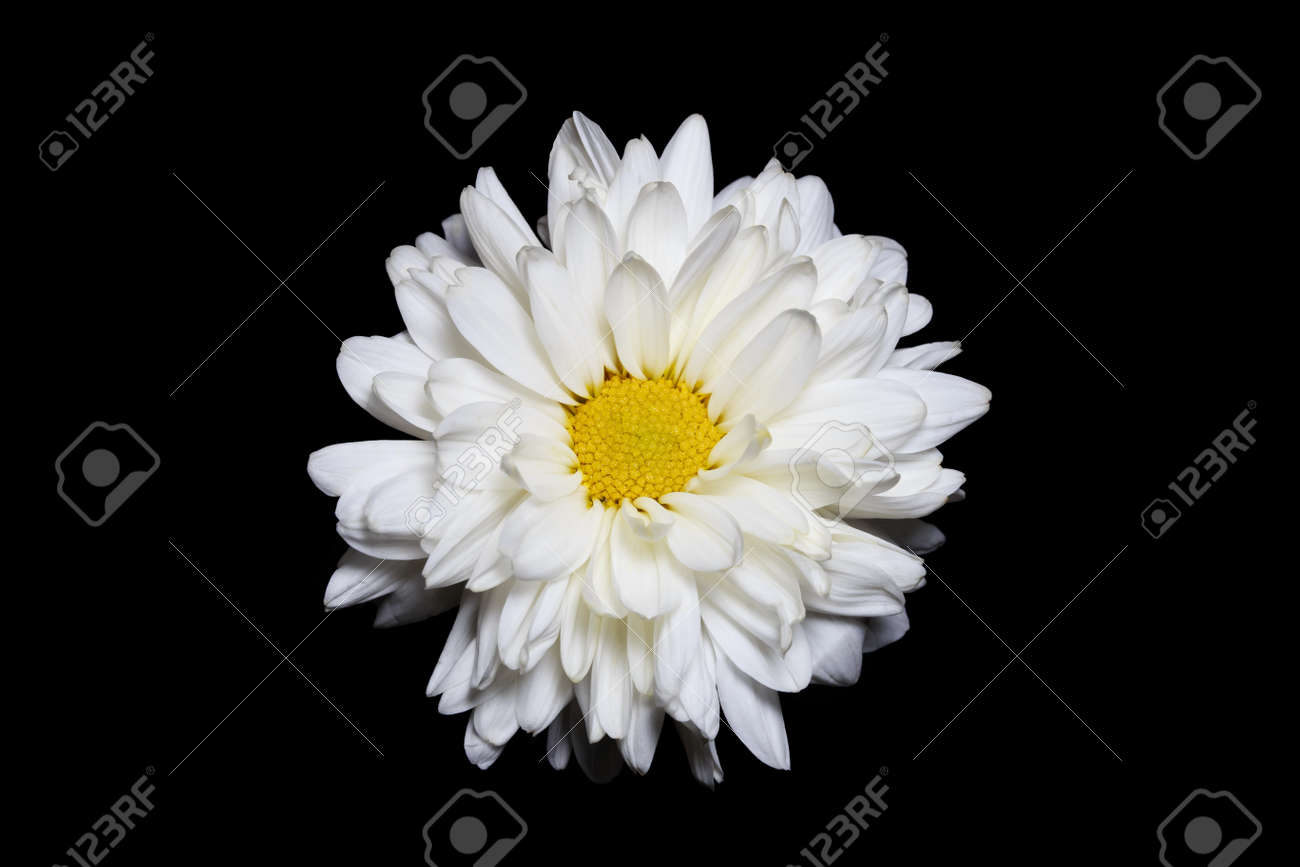 Single White Chrysanthemum Flower With Yellow Center Isolated