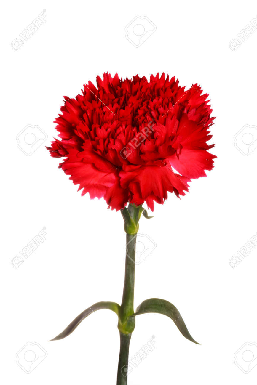 Red Carnation Flower On White Isolated Background Stock Photo