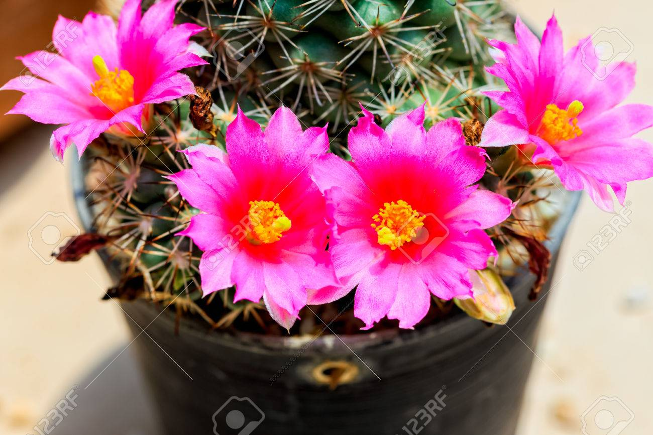 Pink Cactus Flowers Stock Photo Picture And Royalty Free Image