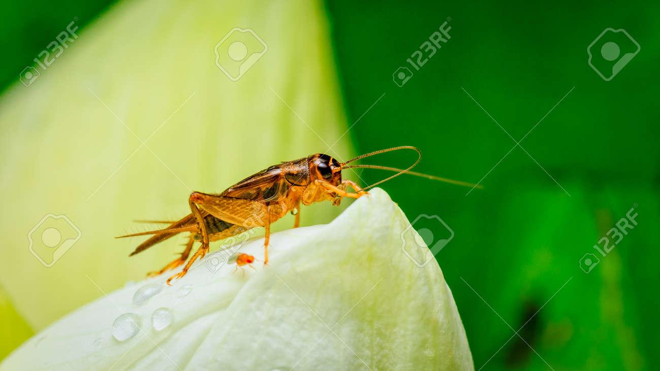 Cricket insect on white lotus flower stock photo picture and cricket insect on white lotus flower stock photo 63994167 mightylinksfo