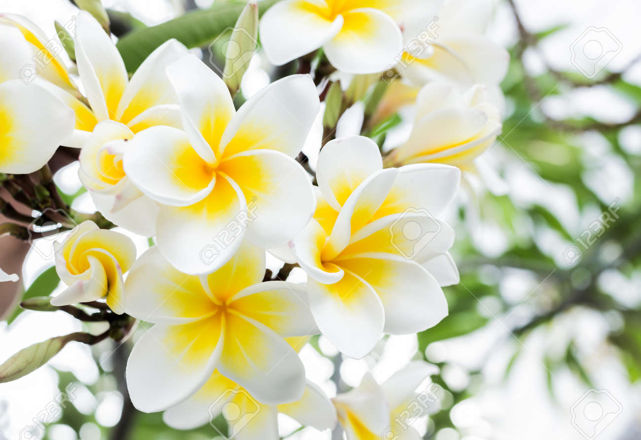 White And Yellow Frangipani Bouquet Flower On Natural Background