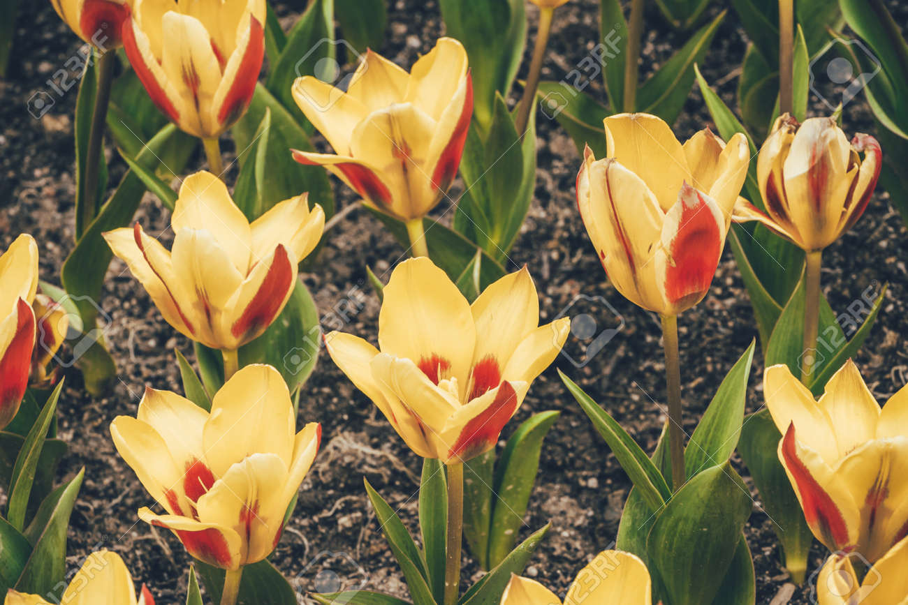 Yellow Tulip Flowers In The Garden Soft Focus And Retro Look