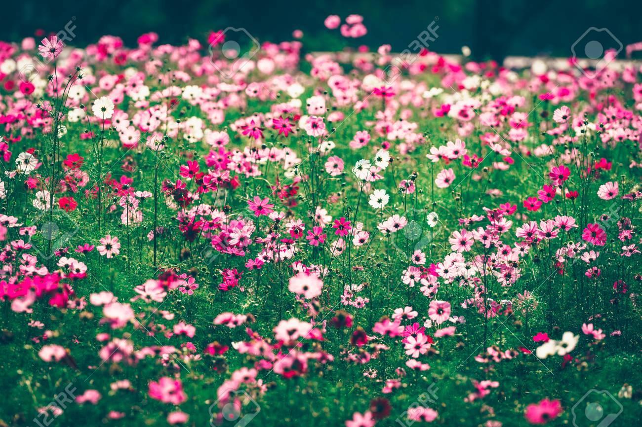Jardin De Fleurs Cosmos Roses Et Rouges, Flou Artistique Et Film ...