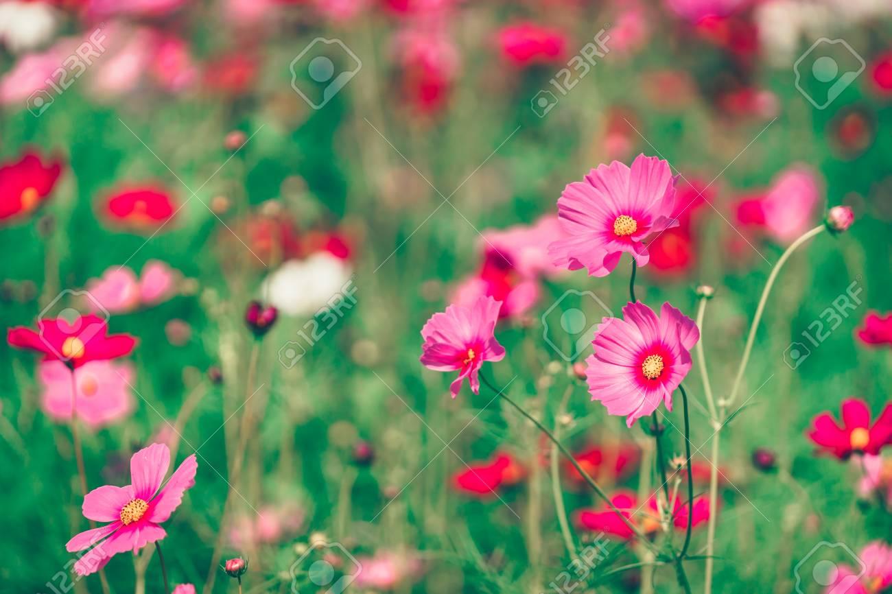 Rose et cosmos fleurs rouges jardin, soft focus et film look rétro à chaud  ton de couleur