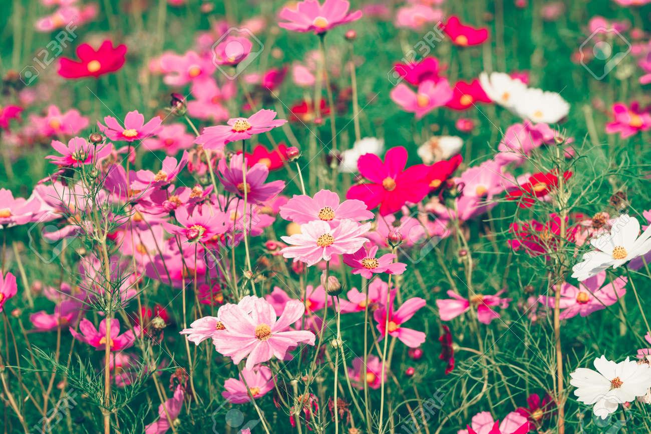 Jardin de fleurs cosmos roses et rouges, flou artistique et film rétro au  ton chaud
