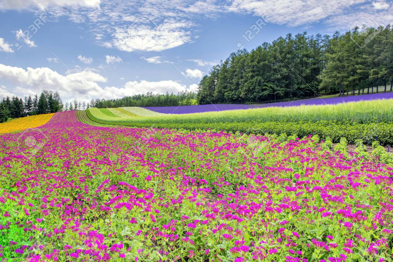 Tomita Farm Is One Of The Most Famous Flower Garden At Hokkaido