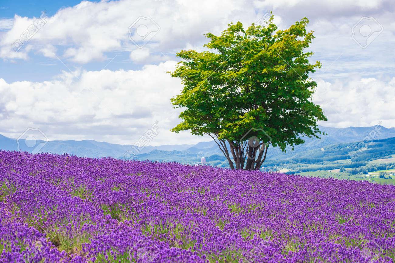 Alone Tree among Lavender Field in Summer at Hinode Park, Furano, Hokkaido, Japan - 149263402