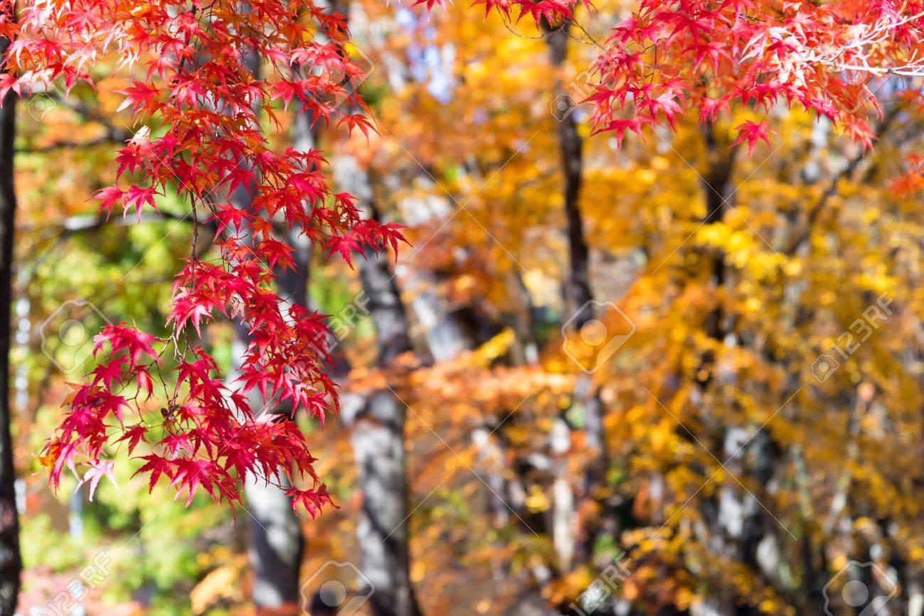 Acero Giapponese Verde il bel colore autunnale del giappone foglie d'acero sul albero è verde,  giallo, arancione e scolorimento rosso nel parco, quando le foglie cambiano
