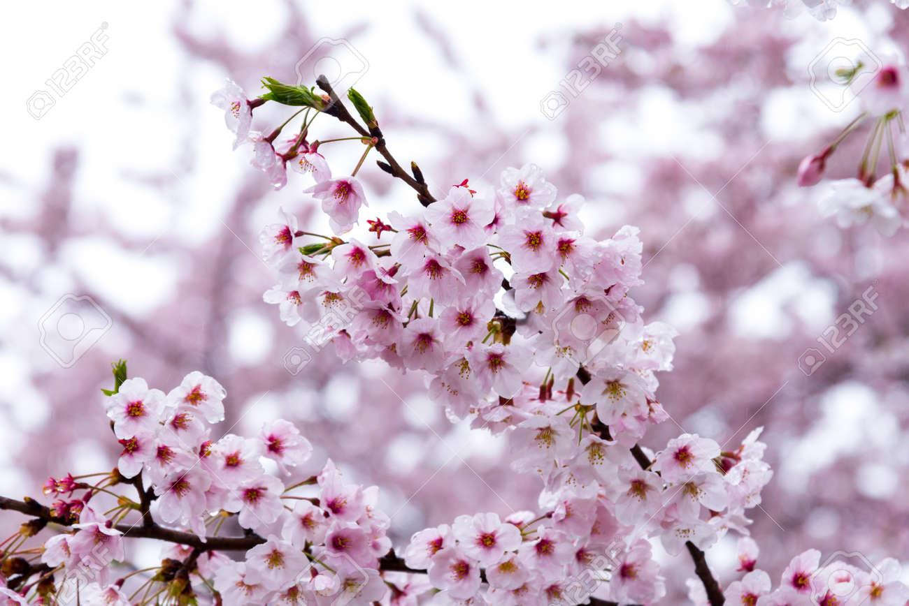 Japanese Cherry Blossom Sakura Tree Spring Season Or Hanabi
