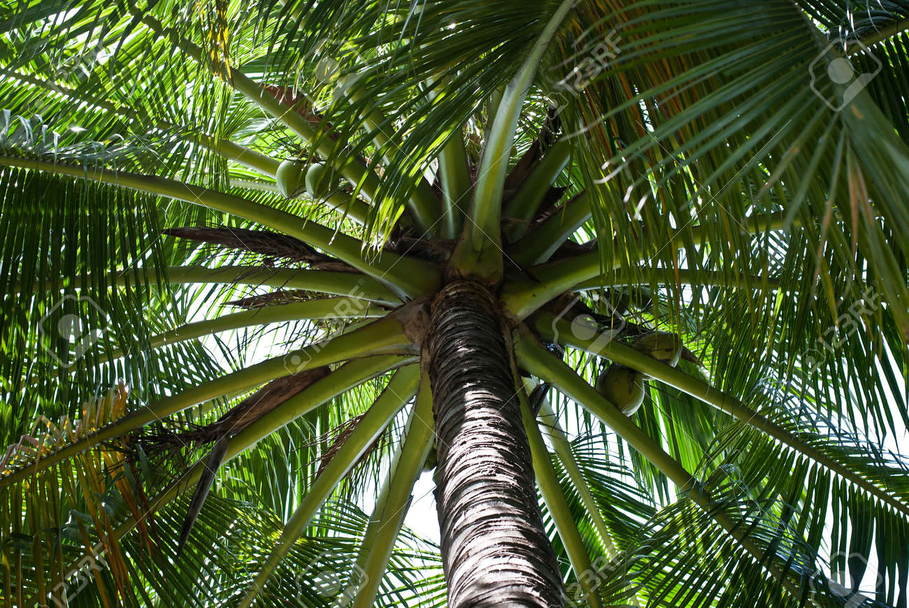 Coconuts growing on tropical palm tree. Stock Photo - 10684987