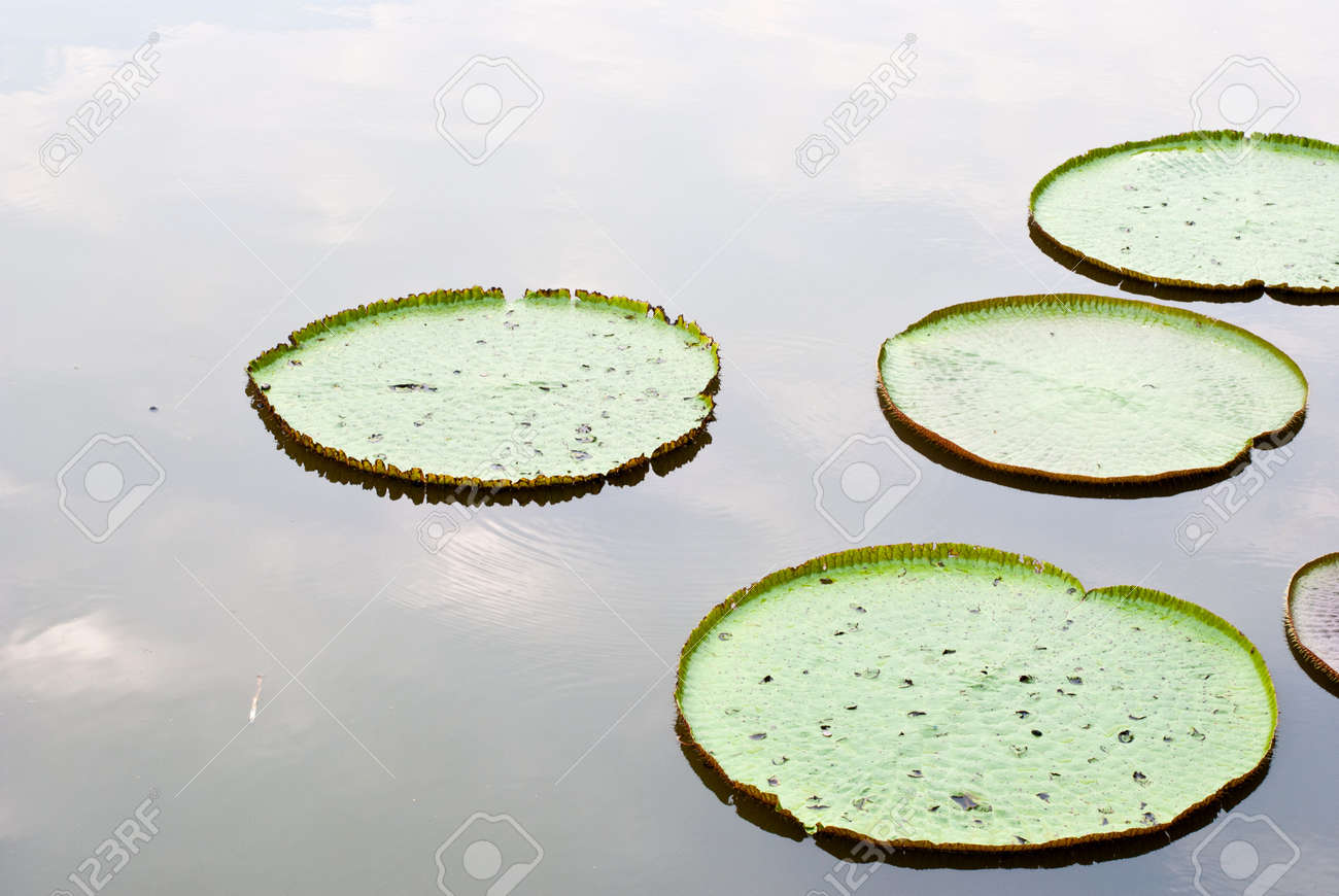 Victoria Water Lily floating on the water Stock Photo - 12672532