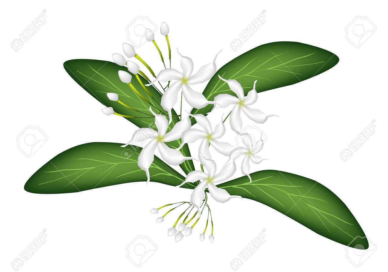 Beautiful Flower, An Illustration of Lovely White Common Gardenias or Cape Jasmine Flowers on Green Leaves Isolated on A White Background - 18205080