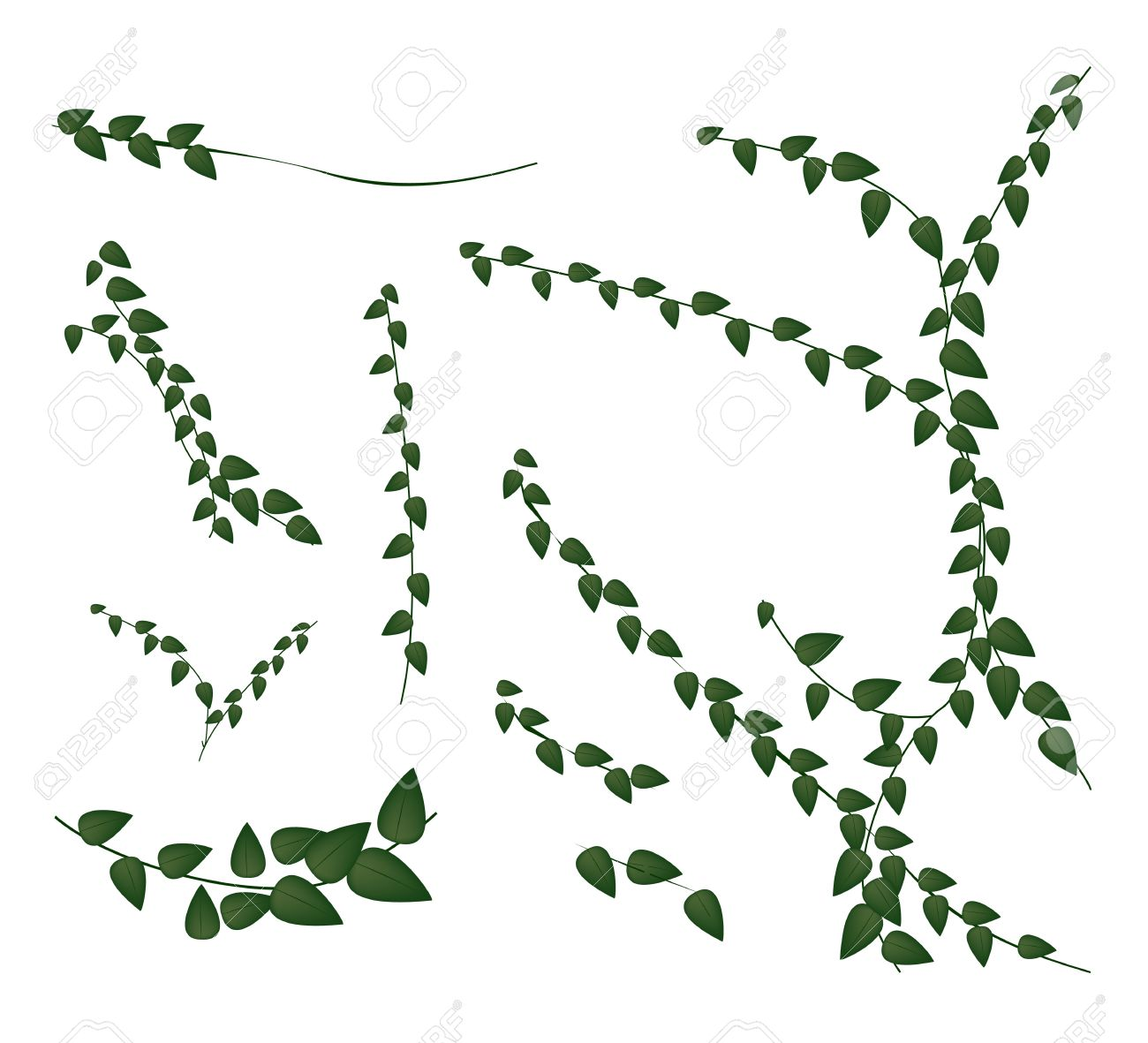 Ecological Concept, An Illustration Collection of Various Style of Ficus Pumila or Green Leaf Creeper Wall Plant Isolated on White Background - 19028395