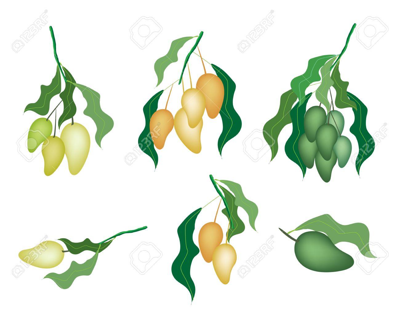 An Illustration Collection Of Various Style Fresh Ripe Mango And Unripe  Mango With Green Leaves Hanging 20160323cuttingmangovickywasik5g
