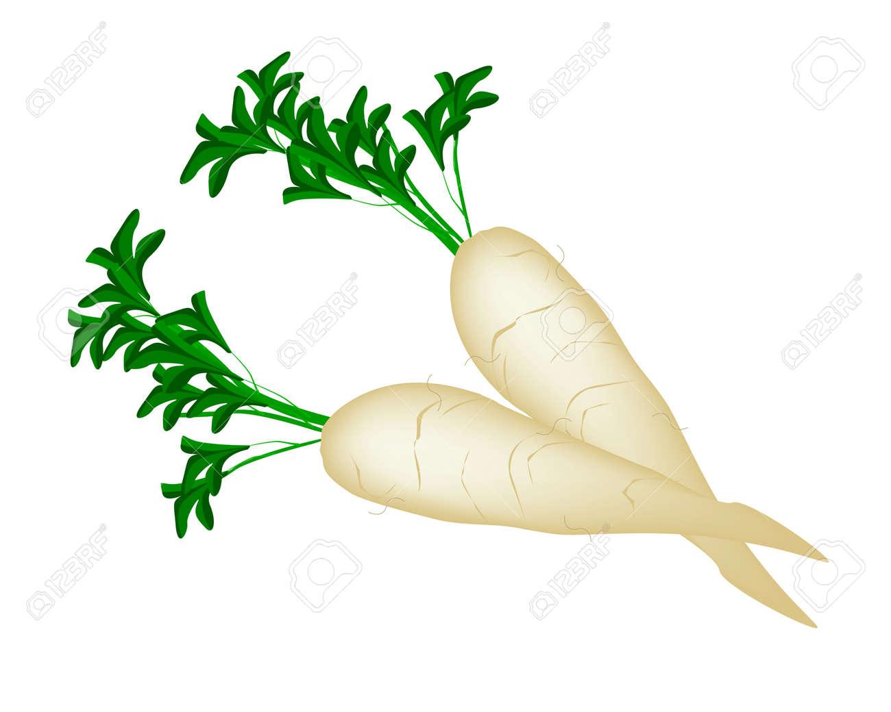 vegetable vector illustration of fresh white radishes or daikon rh 123rf com radish clipart black and white radish image clipart
