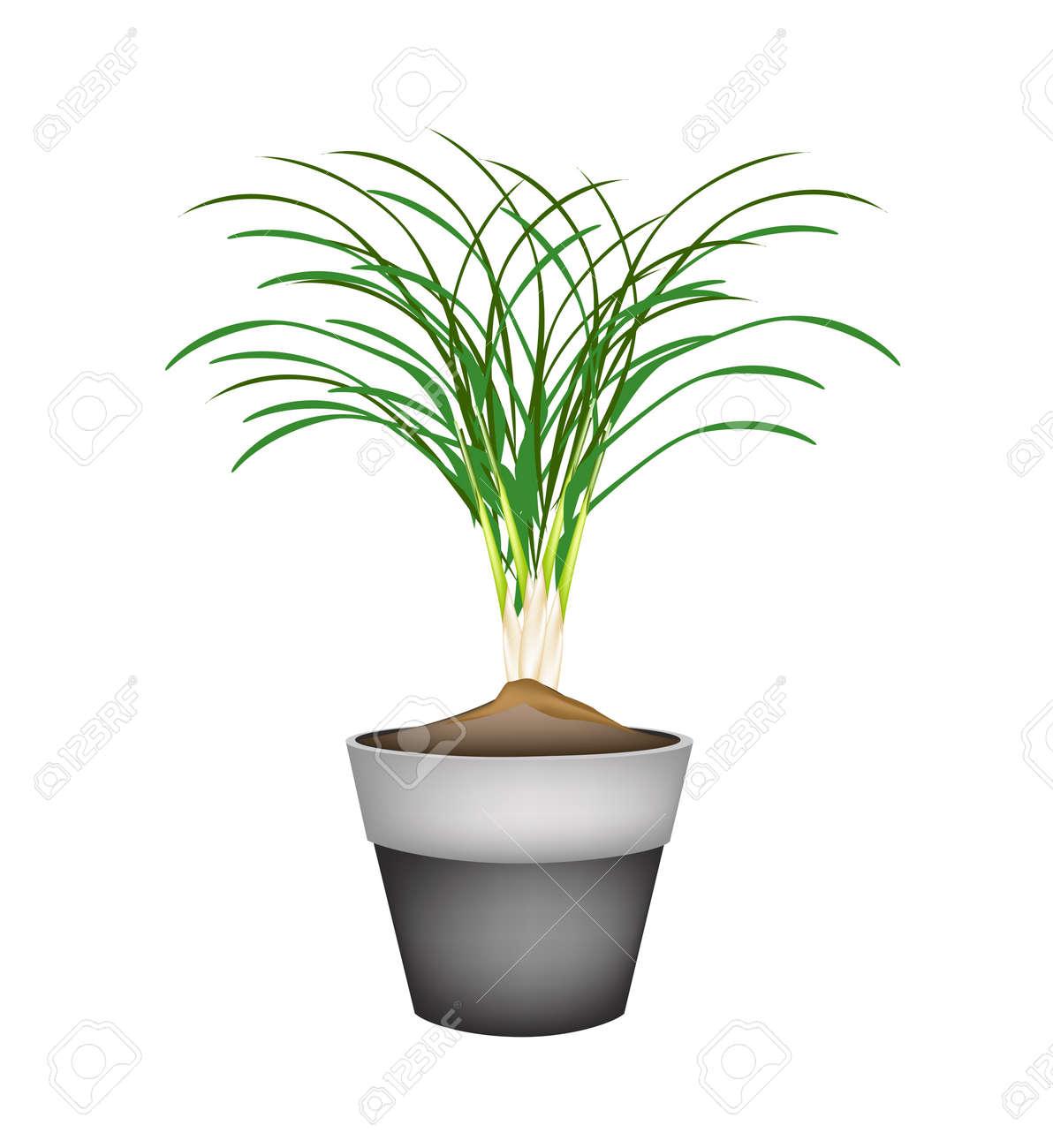 Gemüse Und Kräuter, Illustration Einer Frischen Zitrone Gras Plantage In  Terrakotta Blumentöpfe